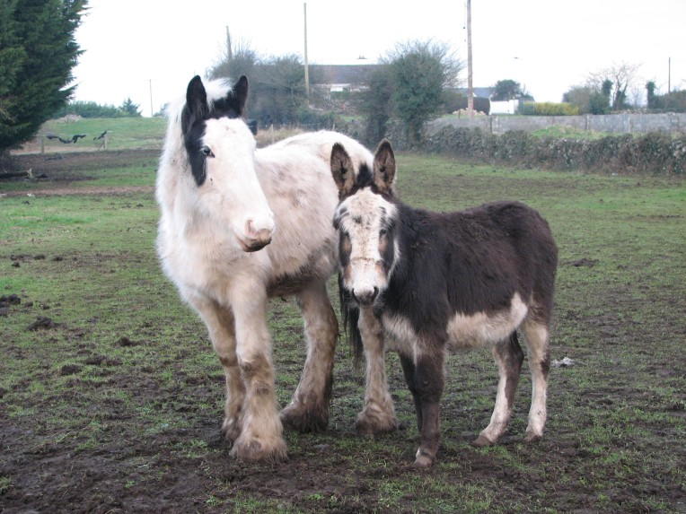"""Connemara tinkers"" - pony and donkey in Clonboo, County Galway, Connemara, Ireland"