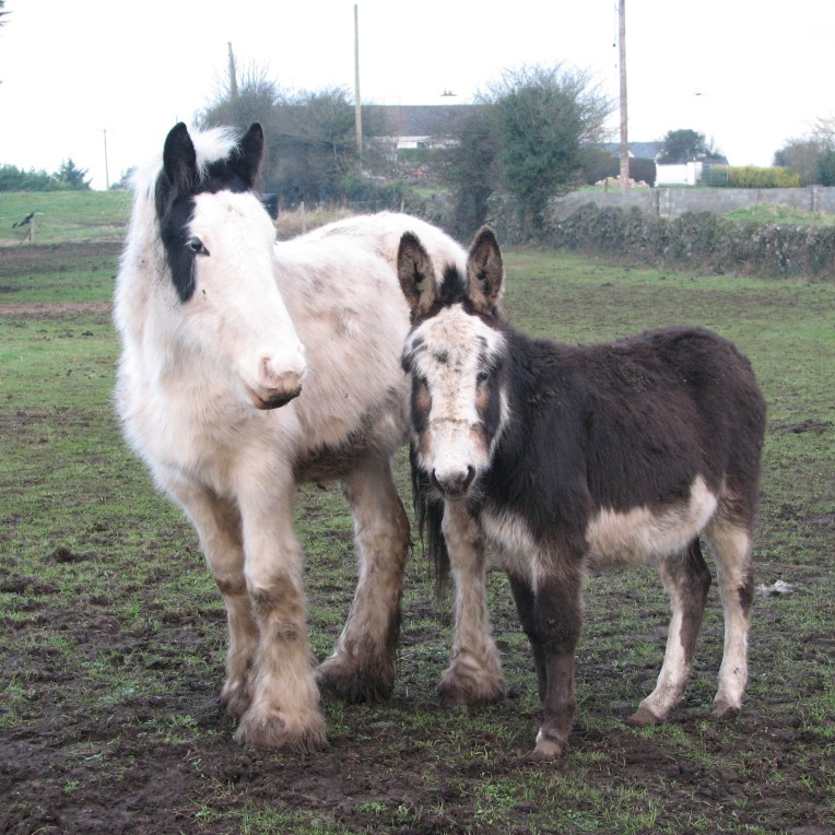 """Connemara tinkers"" - pony and donkey in Clonboo, County Galway, Connemara, Ireland"