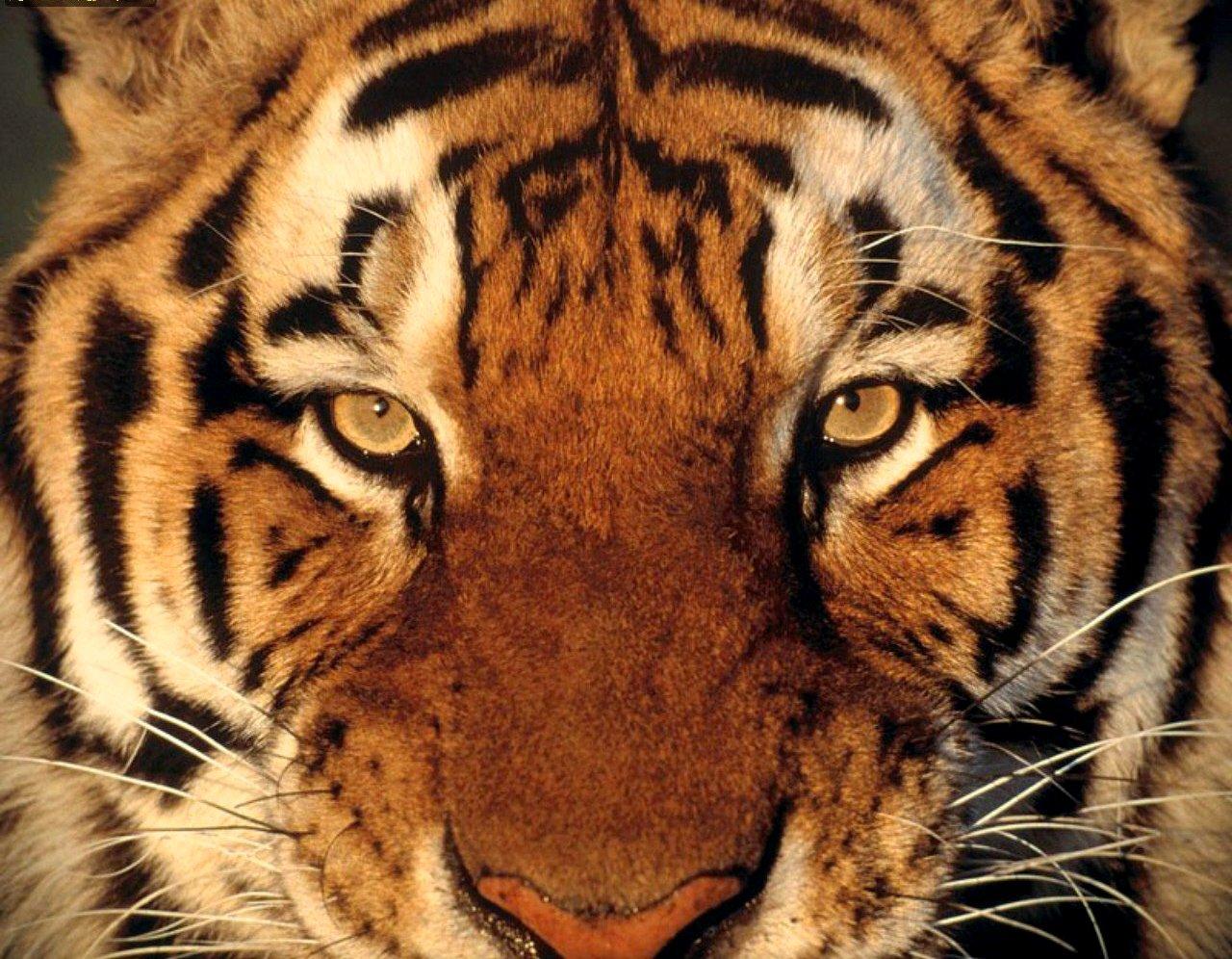 Tiger Tiger burning bright - william blake