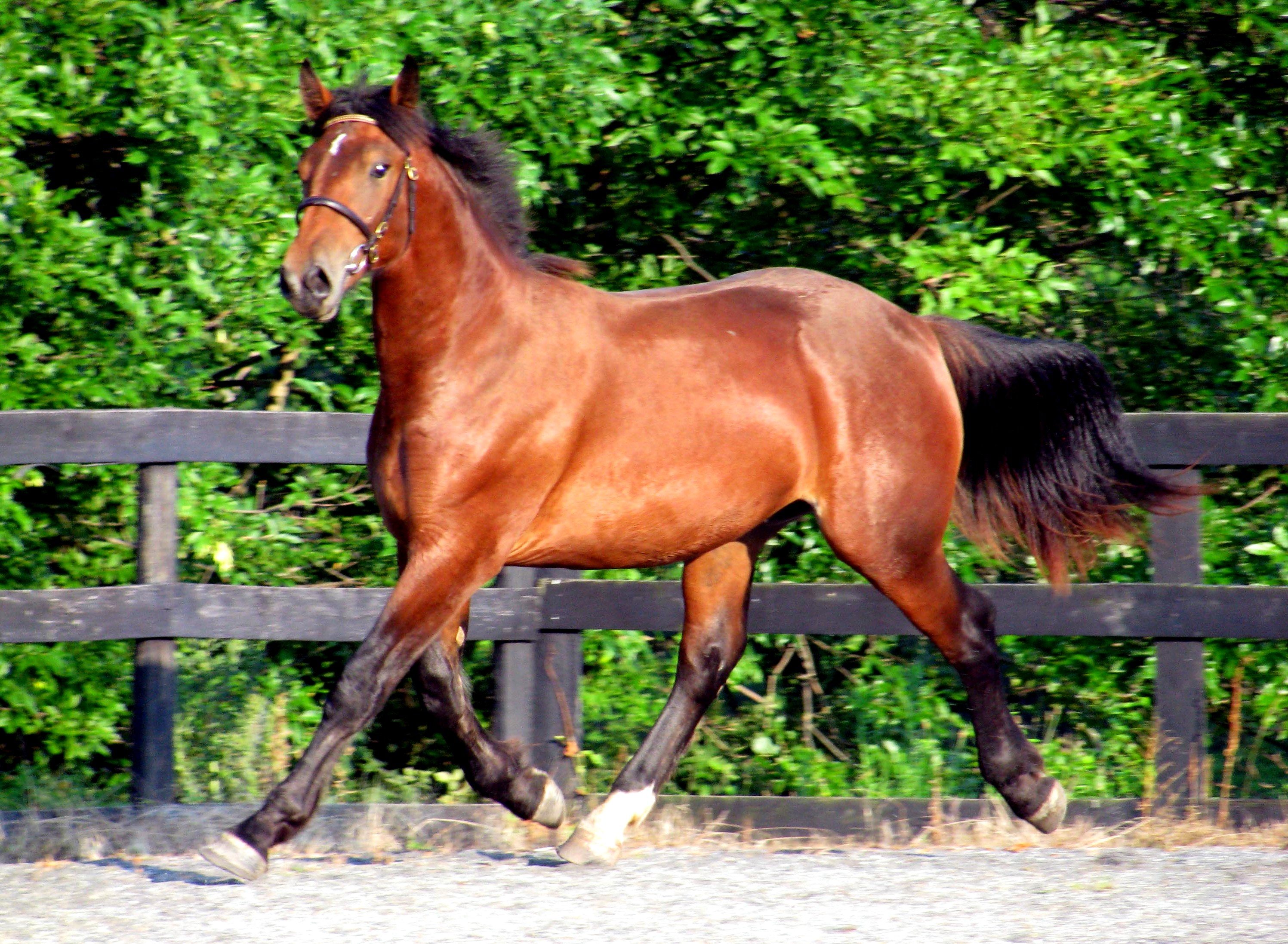 Tiger horse breed - photo#15